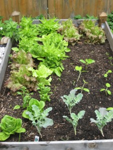 Lettuces, Broccoli and Squashes