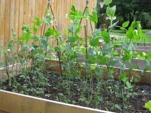 Caselode Shelling Peas
