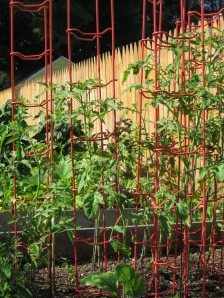 Tomatoes August 25