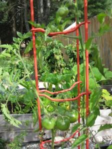 tomatoes september