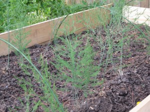 Asparagus Foliage