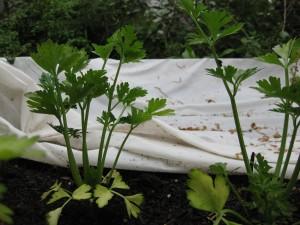 Celery 3rd Bed April 23