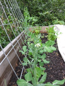 Peas in 3rd Bed April 23
