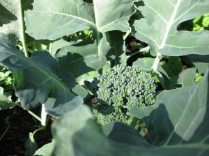 Broccoli Mid May
