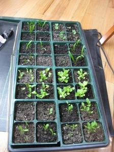 Spinach Lettuce Kale