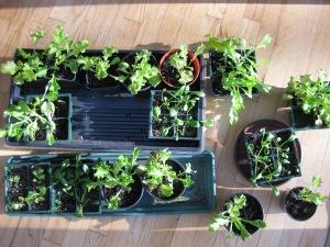 Lettuce Kale Spinach