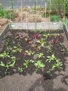 lettuce spinach peas
