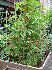 Tomato Bed 2